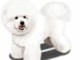 [Dog story]⑪솜사탕 스타일의 '비숑 프리제'