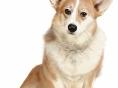 [Dog story]⑩엉덩이 씰룩씰룩 '웰시코기'
