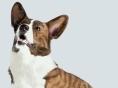 [Dog story] 꼬리 긴 웰시코기 '웰시코기 카디건'